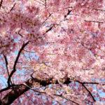 桜の名所で全国ランキング一位の桜はいつかは必ず見てみたいと思うよね!